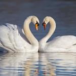 swansHeart